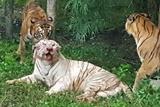 印动物园两只白虎被虎群咬死
