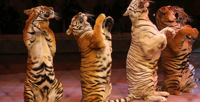 俄罗斯马戏团表演彩排 老虎排排坐温顺又逗乐