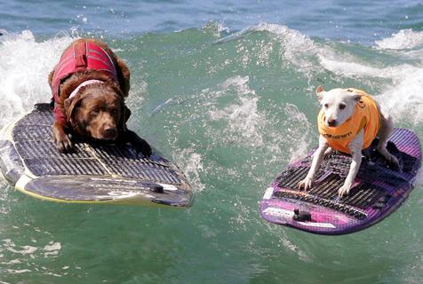 美国狗狗冲浪比赛 汪们秀水上功夫