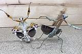 两螳螂为争地盘霸气斗舞