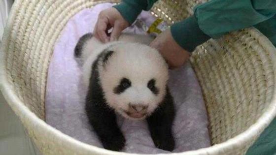 """日媒:""""香香""""——上野动物园熊猫宝宝有名字啦"""