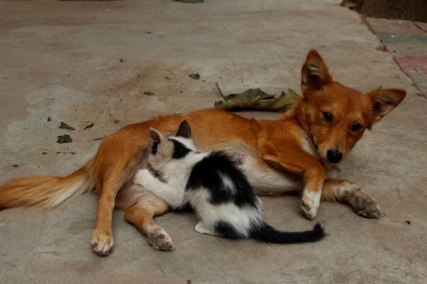 小花猫认狗做母 吃狗奶情同母子