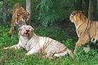 印两只白虎被虎群咬死