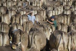 瑞士乡村母牛展:数百头母牛争冠军