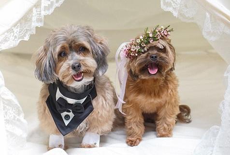 """美国小狗""""夫妇""""享海岛盛大婚礼 浪漫奢华"""