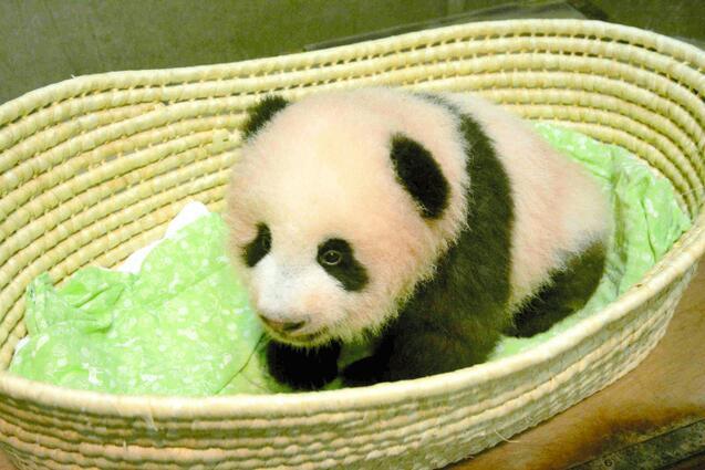 """上野动物园熊猫宝宝取名""""香香"""" 寓意""""像花朵一样盛开"""""""