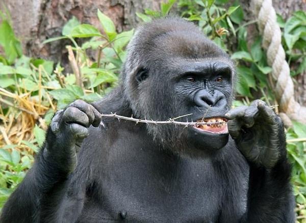 酷爆了!英动物园大猩猩巧用树枝剔牙 动作娴熟