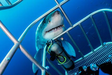 潜水员藏身铁笼邂逅大白鲨 场面震撼
