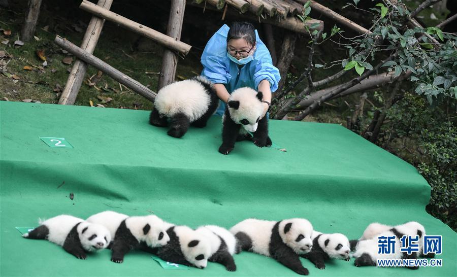 成都:今年新生大熊猫宝宝集体亮相