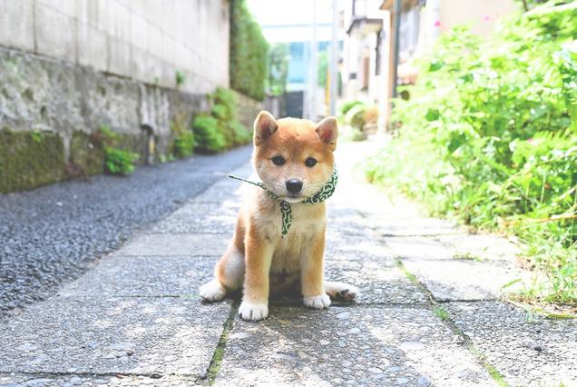 """日本综艺节目《和风总本家》的吉祥物柴犬""""豆助""""因在苜蓿花纹浴池里闲"""
