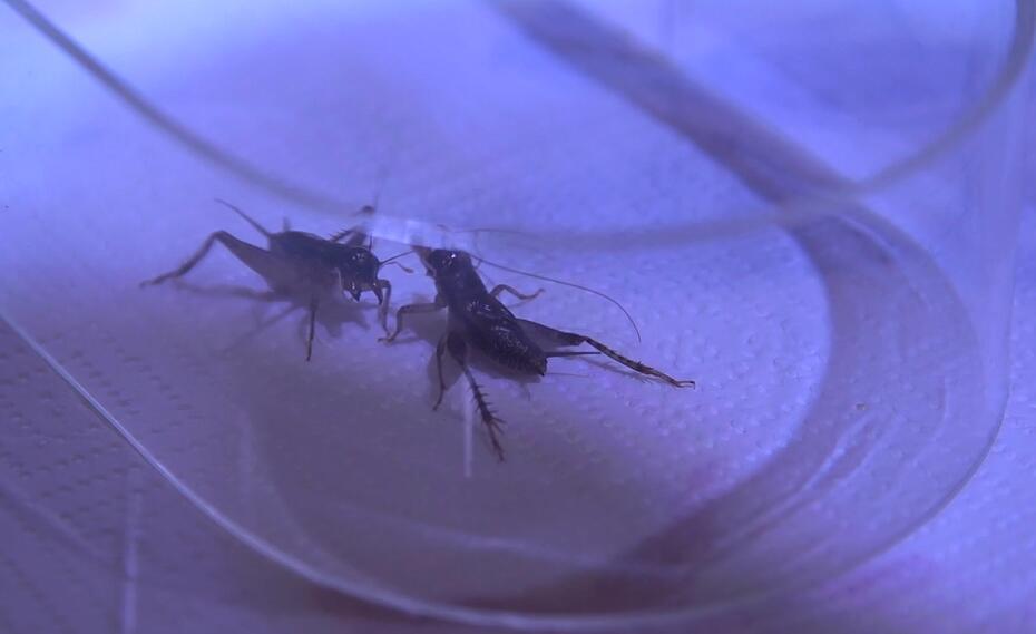 西游中国:美果小哥围观蟋蟀友谊赛
