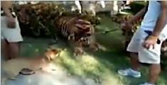 泰国狗狗不知天高地厚 跟老虎对峙将其吓退
