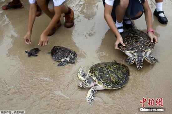 沙巴海龟遭剖腹取卵 大马当局誓言缉凶要求彻查