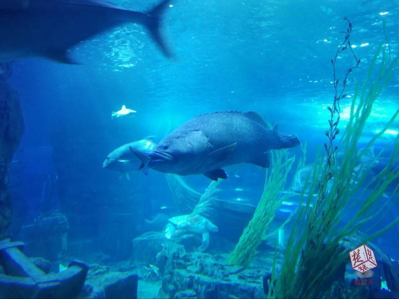 巨型石斑鱼一口吞掉一米长黑鳍鲨鱼 只剩鱼尾摇摆