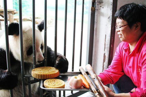 大熊猫吃月饼过中秋