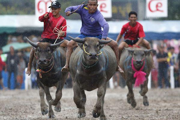 泰国上演传统骑水牛比赛 庆祝水稻大丰收