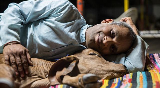 印男子抛妻弃子与牛生活 喝牛尿吃牛粪保持健康