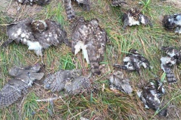 大连现捕鸟网 十余只国家保护鸟类死亡