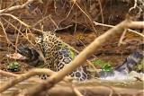 巴西美洲豹猎食鳄鱼场面激烈