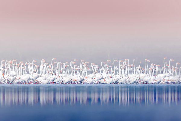 数千只火烈鸟在湖上聚集 粉白相间宛如仙境
