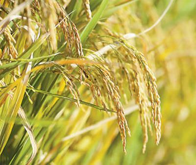 袁隆平团队新型海水稻再突破:亩产可达620公斤