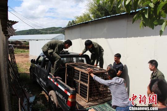 云南农户偷养黑熊14年 一条朋友圈就把自己暴露了