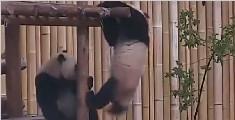 加拿大动物园熊猫宝宝摔跤