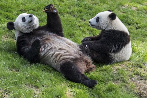 实拍大熊猫在比利时动物园中撒欢卖萌