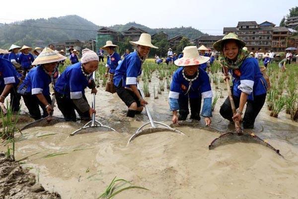广西侗族女子赛抓鱼收稻庆丰收