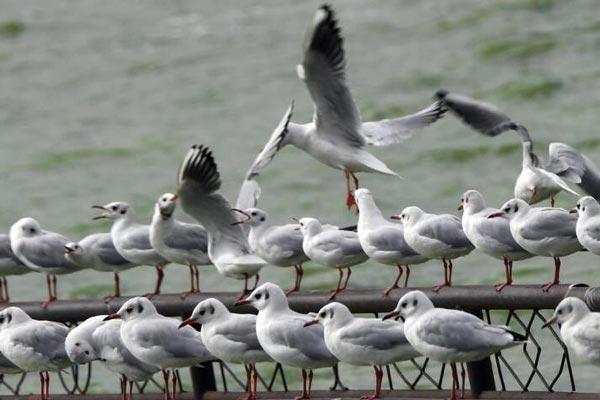 300余只海鸥抵达滇池 昆明迎来观鸥季