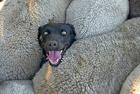 牧羊犬被困羊群爆红网络