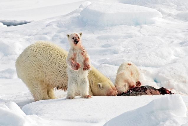 摄影师记录北极熊进食场面 画面血腥