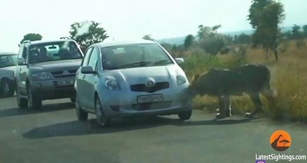 惊险!南非狮子撕碎观光车轮胎致一家人被困