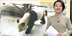 西安一大熊猫瘦得皮包骨 园方:得了牙髓炎