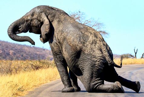 南非大象路中间做早操动作滑稽可爱
