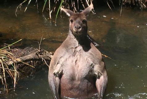澳洲壮硕袋鼠溪中洗澡秀迷人肌肉线条
