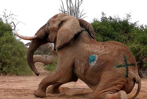 摄影师记录救助受伤非洲象全过程