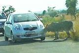 南非狮子撕碎游客车胎