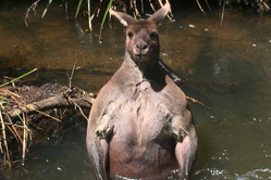 澳洲壮硕袋鼠洗澡秀肌肉线条