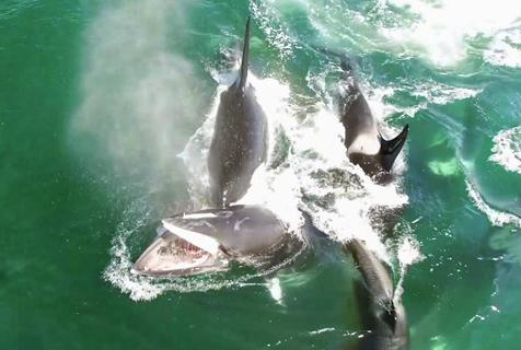 逆戟鲸组团追杀落单小须鲸 残忍野蛮