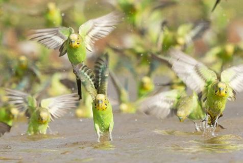 上万鹦鹉集体觅水场面壮观似龙卷风