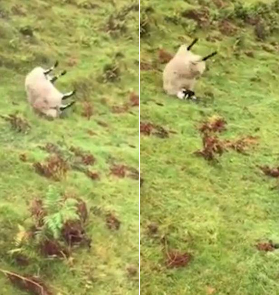 英国一圆滚山羊失足滚落陡坡 表现淡定走红网络