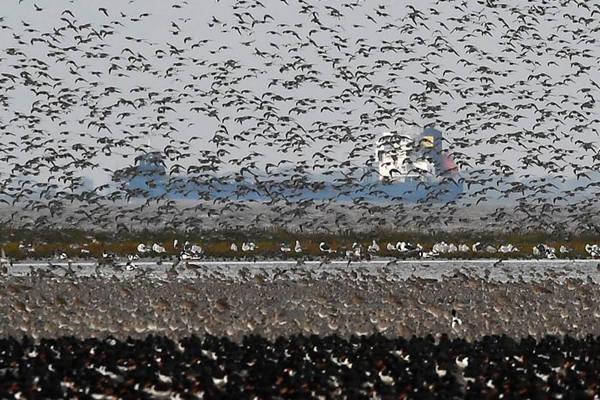 英国海岸现万鸟齐飞景观 遮住天空场面震撼