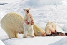 北极熊进食场面血腥残忍