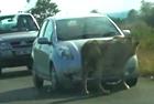 南非狮子撕碎观光车胎