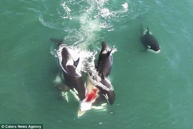 自然奇景!视频记录六虎鲸围攻小须鲸血腥场面