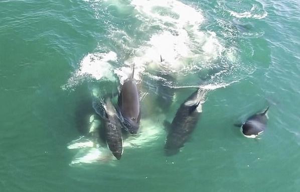 """实拍6头""""杀手鲸""""对落单小须鲸展开夺命追捕"""