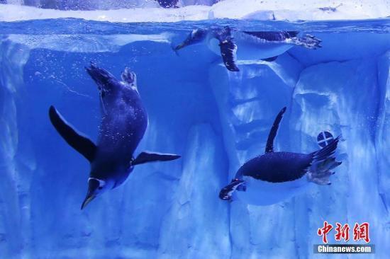 海冰增厚致悲剧 南极企鹅族群数千小企鹅仅两只幸存