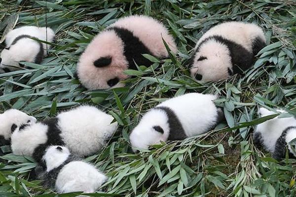 中国大熊猫保护研究中心2017年繁育大熊猫幼仔42只