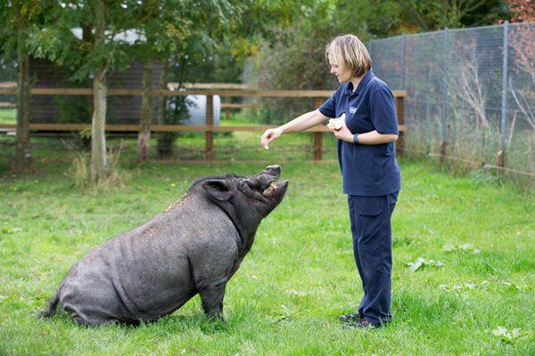 英国黑猪被养成训练犬 会听命令亲近人类